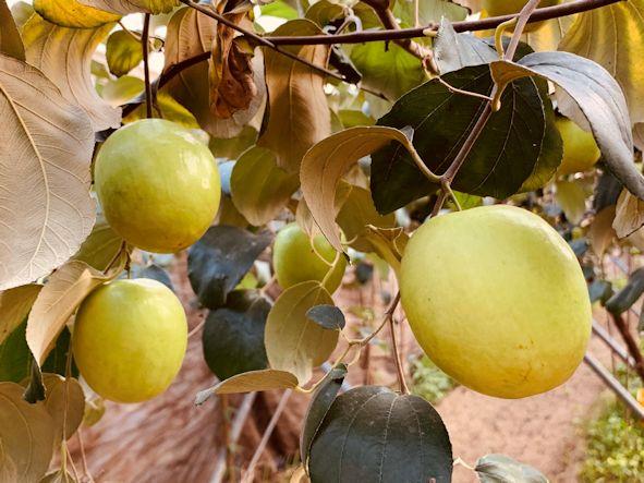▲透由農友的用心栽植及以照顧自己小孩般的呵護,每個蜜棗都味道甘美、好吃。(照片/台灣扶農協會提供)