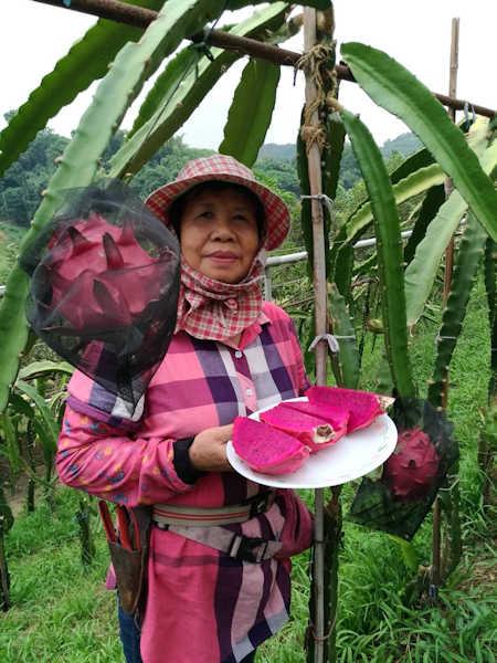 ▲郭素貞種植的紅龍果(紅肉火龍果)果實碩大飽滿,果肉相當的甘甜。(照片/台灣扶農協會提供)
