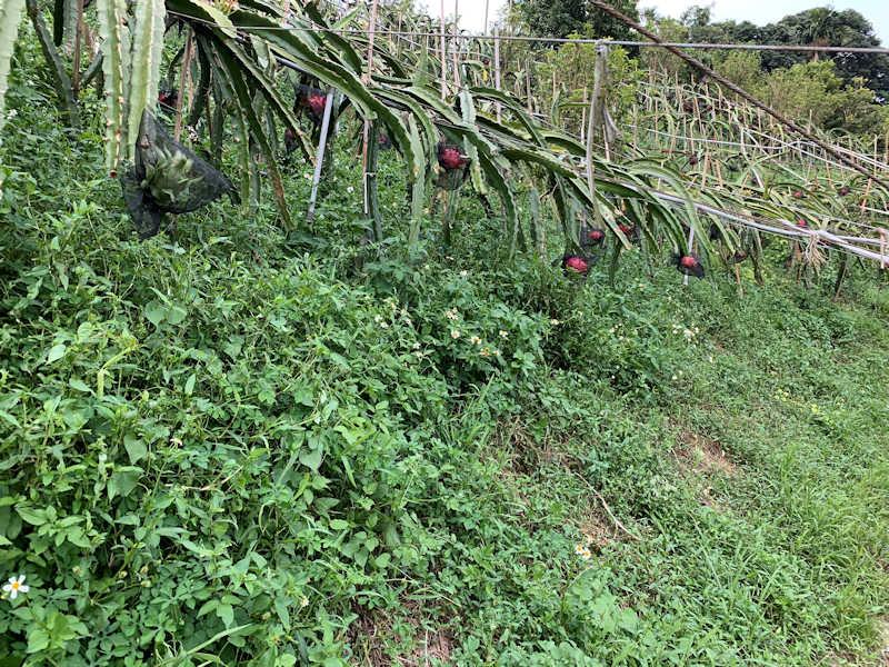 ▲以符合「三安農法」種植的火龍果,果園內火龍果樹與雜草共生。(照片/台灣扶農協會提供)