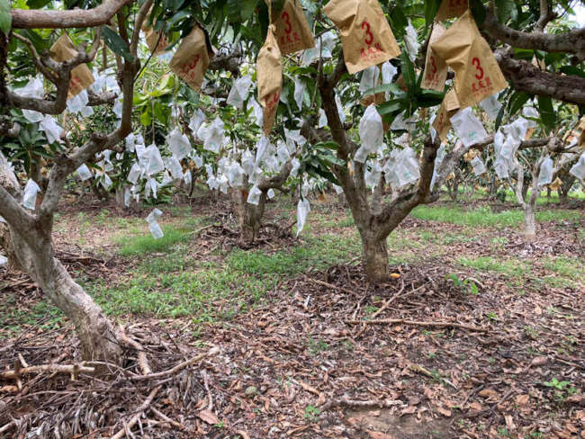 ▲黃姓芒果農的芒果園裡,每顆芒果樹的樹幹都非常的粗壯,所以生產出來的芒果也就特別的好吃。(照片/台灣扶農協會提供)