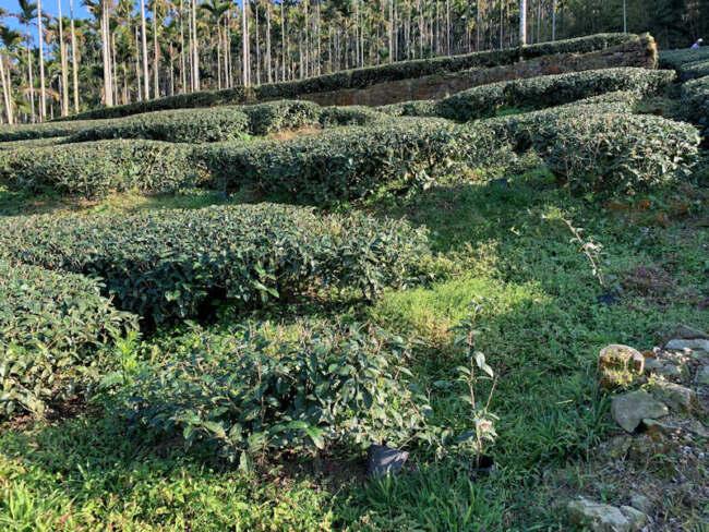 ▲金獅莊園連福製茶地處得天獨厚、天然渾成的地理區域,故其所產茶葉更屬莊園等級。(照片/台灣扶農協會提供)